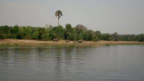 Manada de los elefantes africanos salvajes que vienen al río beber en un día caliente en sabana metrajes