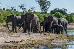 Manada de los elefantes que caminan a lo largo de riverbank enselvado Imágenes de archivo libres de regalías