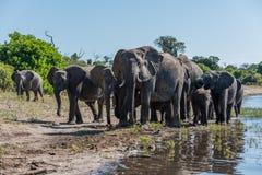 Manada de los elefantes que caminan a lo largo de riverbank soleado Fotos de archivo