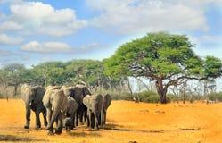 Manada de los elefantes que caminan a través de los llanos áridos secos en el parque nacional de Hwange, Zimbabwe Fotografía de archivo libre de regalías