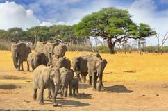 Manada de los elefantes que caminan a través de los llanos áridos secos en el parque nacional de Hwange, Zimbabwe Fotos de archivo libres de regalías