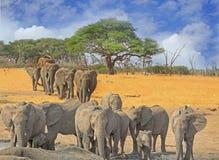 Manada de los elefantes que caminan a través de los llanos áridos secos en el parque nacional de Hwange, Zimbabwe Fotos de archivo