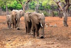 Manada de los elefantes que caminan a través del arbusto africano en una línea recta, Zambia, África meridional Imágenes de archivo libres de regalías