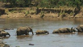 Manada de los elefantes que caminan a través del río de Mara en Masai Mara Game Reserve almacen de metraje de vídeo