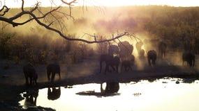Manada de los elefantes que caminan a través del sol de oro de la tarde en el waterhole Fotos de archivo libres de regalías