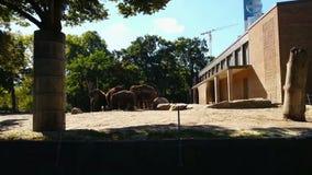 Manada de los elefantes que comen la comida en día de verano soleado Hora de la comida en Berlin Zoo almacen de metraje de vídeo
