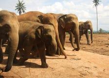 Manada de los elefantes que entran en fila fotografía de archivo libre de regalías