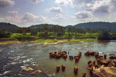 Manada de los elefantes que se bañan en el río Fotos de archivo libres de regalías