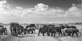 Manada de los elefantes salvajes grandes que cruzan roadi de la suciedad en el parque nacional de Amboseli, Kenia Foto de archivo