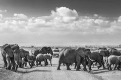Manada de los elefantes salvajes grandes que cruzan roadi de la suciedad en el parque nacional de Amboseli, Kenia Fotos de archivo libres de regalías