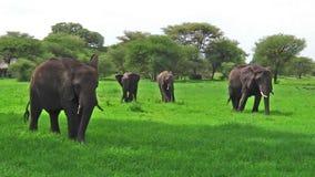 Manada de los elefantes Tanzania almacen de metraje de vídeo