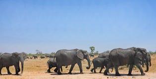 Manada de los elefantes waling a través de la sabana arenosa seca con un cielo azul claro y del fondo natural con otra manada fotografía de archivo