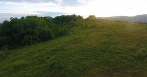 Manada de los funcionamientos de los caballos salvajes en las montañas en el amanecer debajo del cielo ilimitado metrajes
