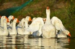 Manada de los gansos blancos Foto de archivo libre de regalías