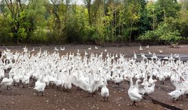 Manada de los gansos blancos Fotos de archivo libres de regalías
