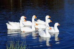 Manada de los gansos domésticos blancos que nadan en la charca Imagen de archivo libre de regalías