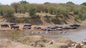 Manada de los hipopótamos que mienten en los bancos de Mara River, sabana africana, 4K metrajes