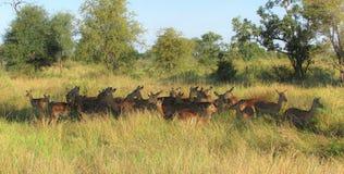 Manada de los impalas que crean un semicírculo hermoso en la hierba imagen de archivo