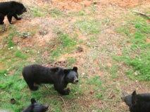 Manada de los osos en la naturaleza fotografía de archivo