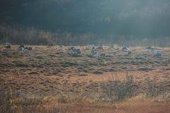 Manada de los renos del caribú que pastan y que cruzan el camino cerca de Nordkapp, condado de Finnmark, Noruega Fotografía de archivo libre de regalías