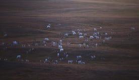 Manada de los renos del caribú que pastan y que cruzan el camino cerca de Nordkapp, condado de Finnmark, Noruega Foto de archivo libre de regalías
