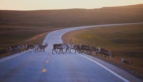 Manada de los renos del caribú que pastan y que cruzan el camino cerca de Nordkapp, condado de Finnmark, Noruega Imagenes de archivo