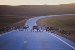 Manada de los renos del caribú que pastan y que cruzan el camino cerca de Nordkapp, condado de Finnmark, Noruega Fotos de archivo libres de regalías