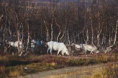 Manada de los renos del caribú que pastan y que cruzan el camino cerca de Nordkapp, condado de Finnmark, Noruega Imágenes de archivo libres de regalías