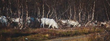 Manada de los renos del caribú que pastan y que cruzan el camino cerca de Nordkapp, condado de Finnmark, Noruega Fotos de archivo