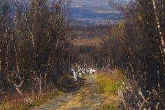Manada de los renos del caribú que pastan y que cruzan el camino cerca de Nordkapp, condado de Finnmark, Noruega Fotografía de archivo