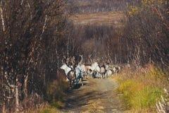 Manada de los renos del caribú que pastan y que cruzan el camino cerca de Nordkapp, condado de Finnmark, Noruega Imagen de archivo