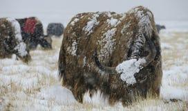 Manada de los yacs en tempestad de nieve imágenes de archivo libres de regalías