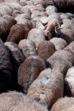 Manada de ovejas Foto de archivo libre de regalías