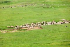 Manada de ovejas Fotografía de archivo libre de regalías