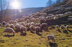 Manada de ovejas Fotos de archivo