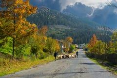 Manada de ovejas Imagenes de archivo