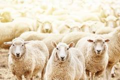 Manada de ovejas Fotos de archivo libres de regalías