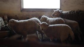 Manada de ovejas Dity pare y las ovejas en un establo Ovejas en granero almacen de video