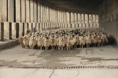 Manada de ovejas en el camino Fotografía de archivo libre de regalías