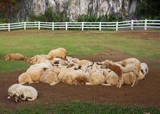 Manada de ovejas en el medio del valle 1 Fotos de archivo