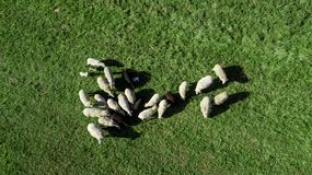 Manada de ovejas en el pasto foto de archivo libre de regalías