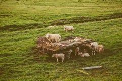 Manada de ovejas en el prado Fotografía de archivo libre de regalías