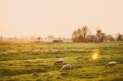 Manada de ovejas en el prado en la puesta del sol Foto de archivo libre de regalías