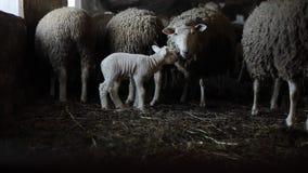 Manada de ovejas en granero Ovejas con el cordero Ovejas marrones sucias metrajes