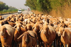 Manada de ovejas en la carretera Imagen de archivo libre de regalías