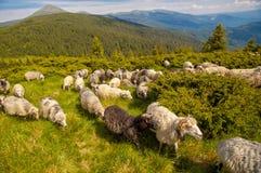 Manada de ovejas en la colina de la montaña Fotografía de archivo libre de regalías