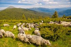 Manada de ovejas en la colina de la montaña Fotografía de archivo