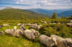 Manada de ovejas en la colina de la montaña Imágenes de archivo libres de regalías
