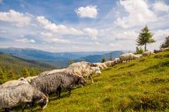 Manada de ovejas en la colina de la montaña Imagen de archivo libre de regalías