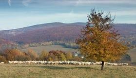 Manada de ovejas en prado asoleado de la montaña Fotos de archivo libres de regalías
